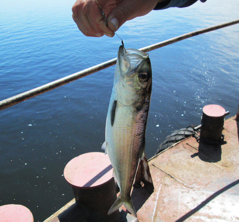 Ставки для крупной рыбы в море